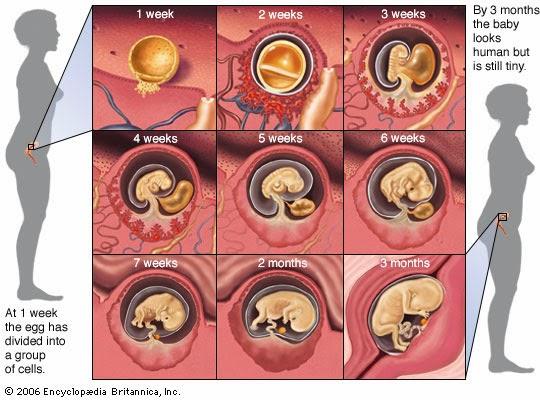 Perkembangan bayi ibu hamil 1 minggu, hamil minggu pertama, petanda hamil usia 1 minggu, proses persenyawaan sperma dan ovum, cara menentukan usia bayi umur 1 minggu, ovulasi persenyawaan sperma dan telur, minggu pertama kehamilan adalah minggu haid terakhir bermula, janin membentuk embrio minggu pertama mengandung, bila tarikh mengandung, gambar bayi janin 1 minggu