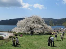 箱根湖畔の一本桜