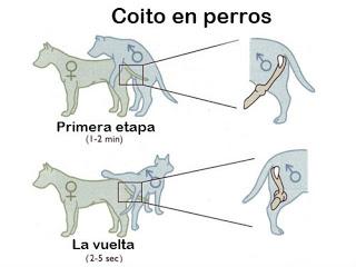 pene canino