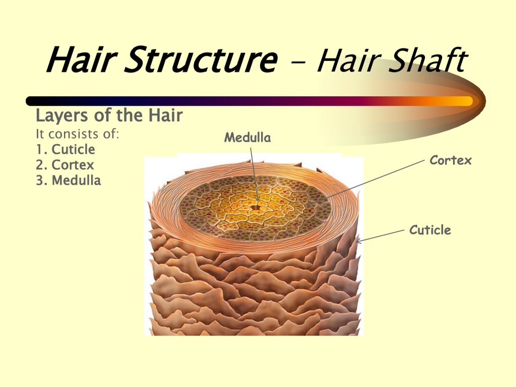 hair structure diagram picture anatomy picture reference and  : hair structure diagram - findchart.co
