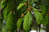 New growth on spruce tips