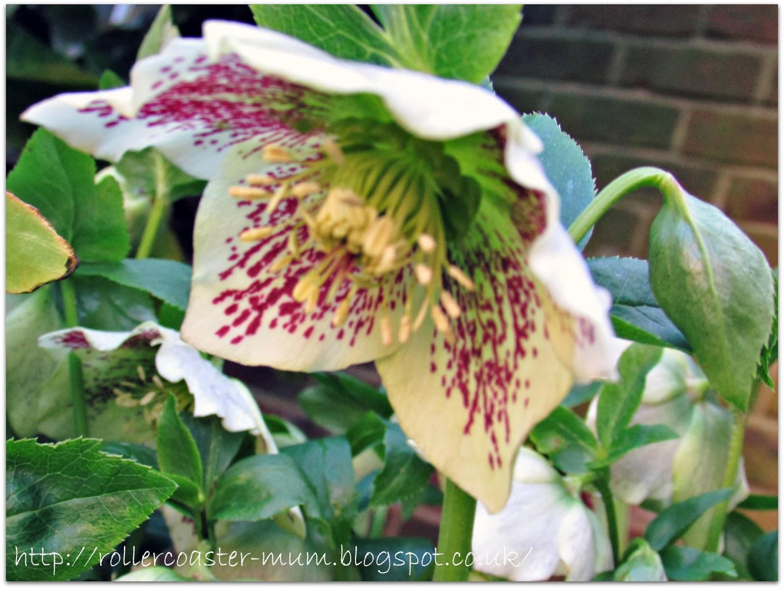 hybrid Hellebore flower