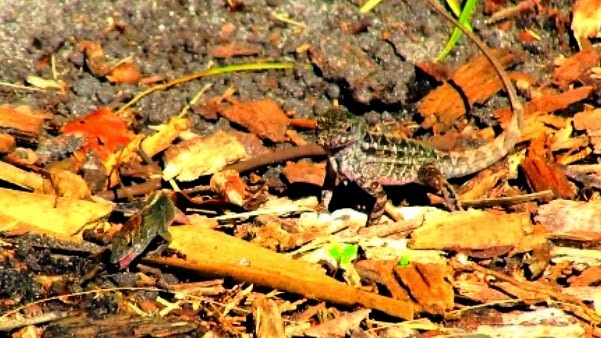 Anole Lizards Eating Deadly Fire Ants