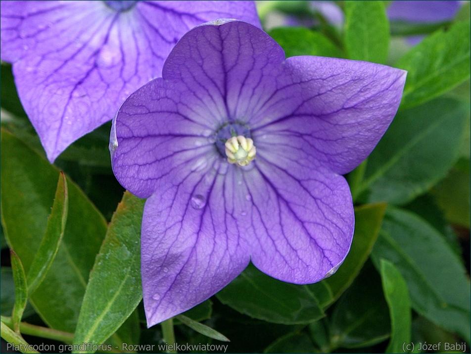 Platycodon grandiflorus - Rozwar wielkokwiatowy kwiat