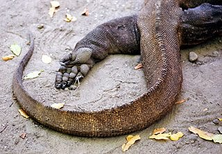 Close up photograph of komodo's foot and tail