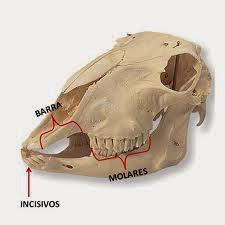 Dentição dos mamíferos herbívoros