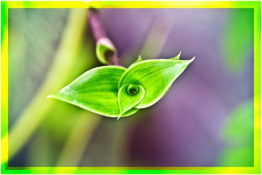 bài thuốc từ cây kỳ duyên ( cây lược vàng)
