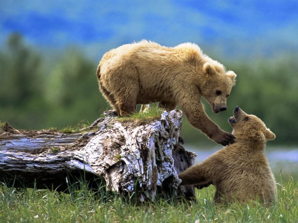"<img src=""http://4.bp.blogspot.com/-Q-eG2AwvBdM/UtuqJ__CowI/AAAAAAAAI-4/Sacaz3FVmHk/s1600/bear-couple.jpeg"" alt=""bear couple"" />"