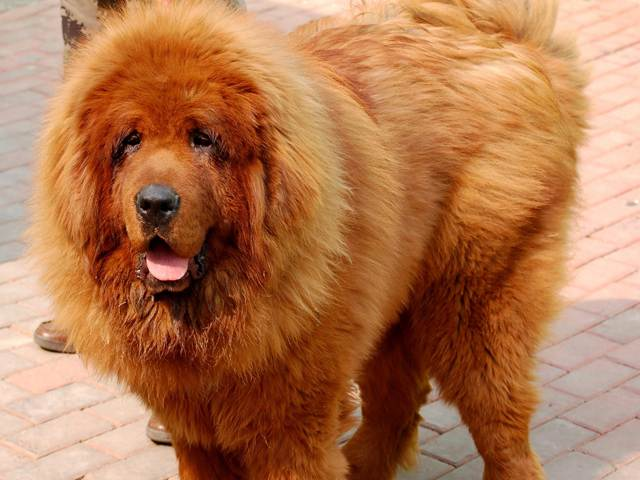 Tibetan Mastiff (Zang'Ao) Information and Pictures