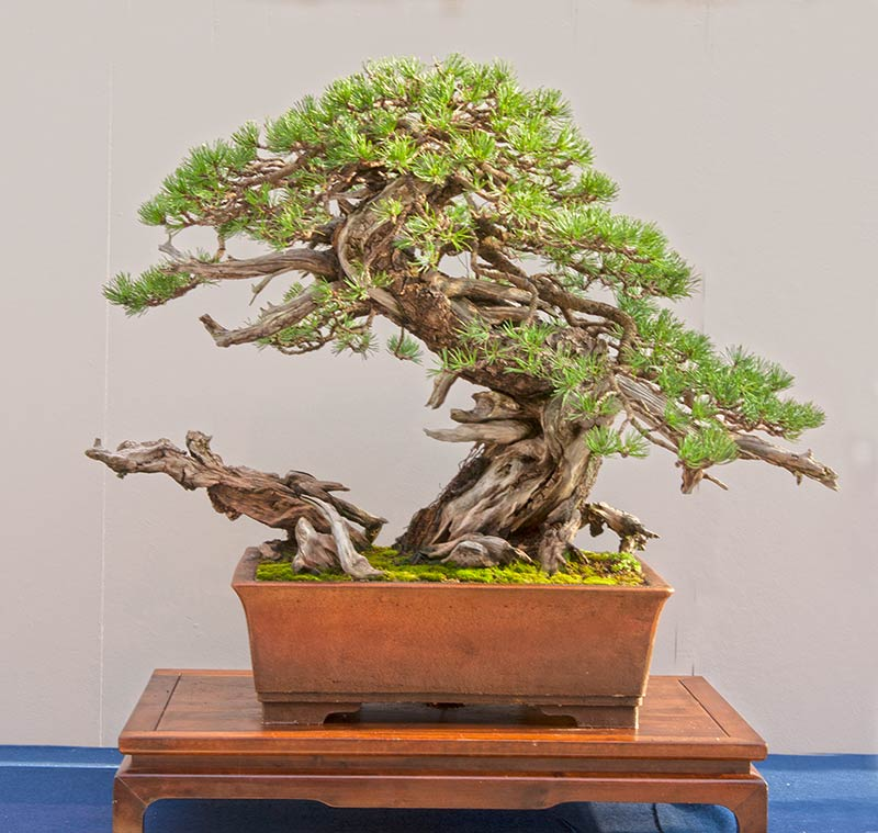 walter pall bonsai adventures mugo pine 3 new position. Black Bedroom Furniture Sets. Home Design Ideas