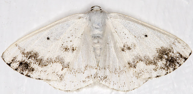 Clouded Silver, Lomographa temerata.  Hayes, 9 July 2015