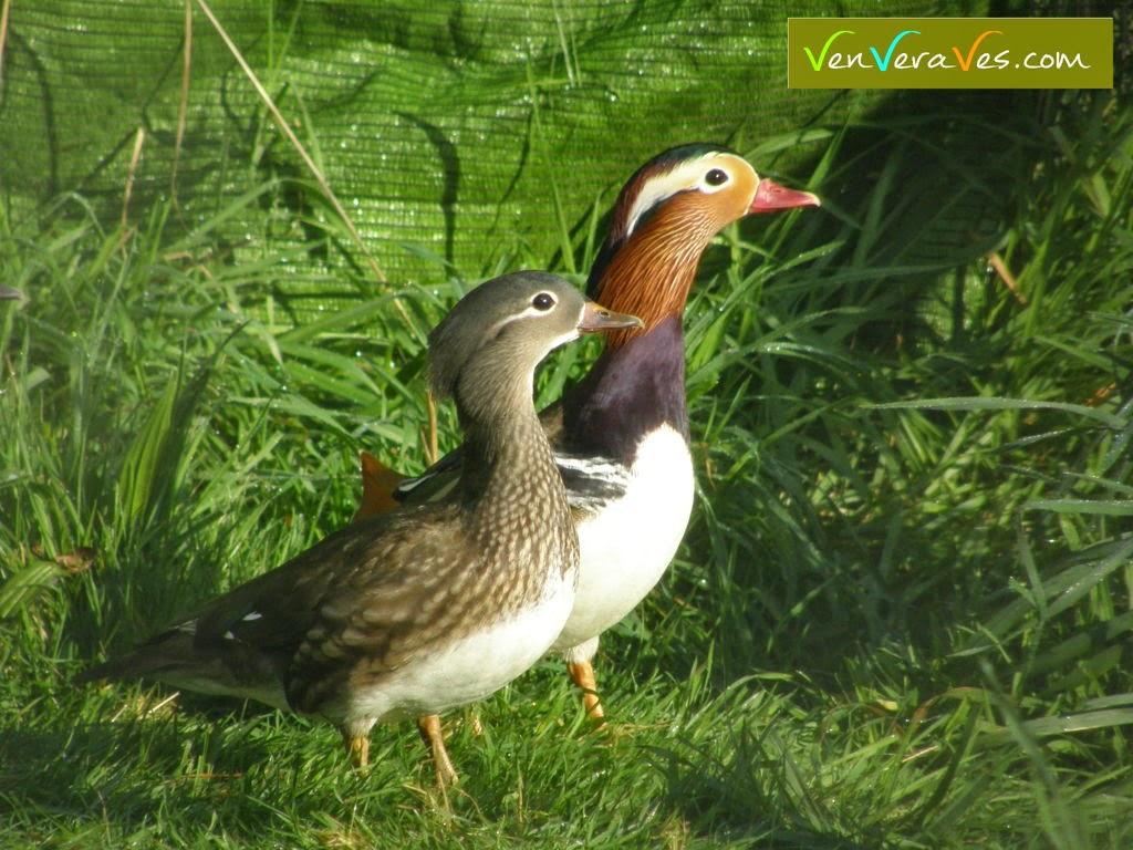 Una pareja de patos mandarines