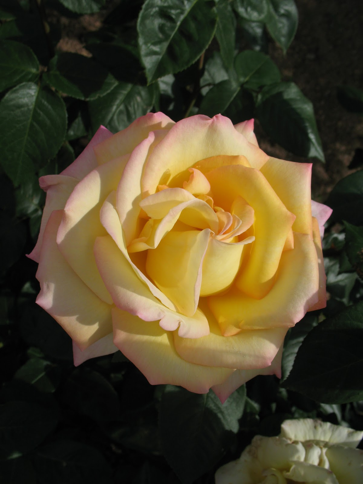 Roses du jardin ch neland taille des rosiers - Taille rosier buisson ...