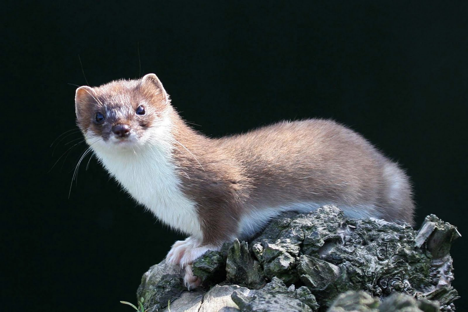 ermine black singles August furbearer playmate of the month weasel there are two species of weasels in alaska: the short-tailed weasel or ermine (mustela erminea) and the least weasel (mustela rixosa)these weasels range over north america and are found throughout most of alaska.