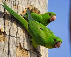 Aratinga verde: Aratinga Psittacara holochlorus
