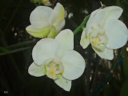 Orqudeas