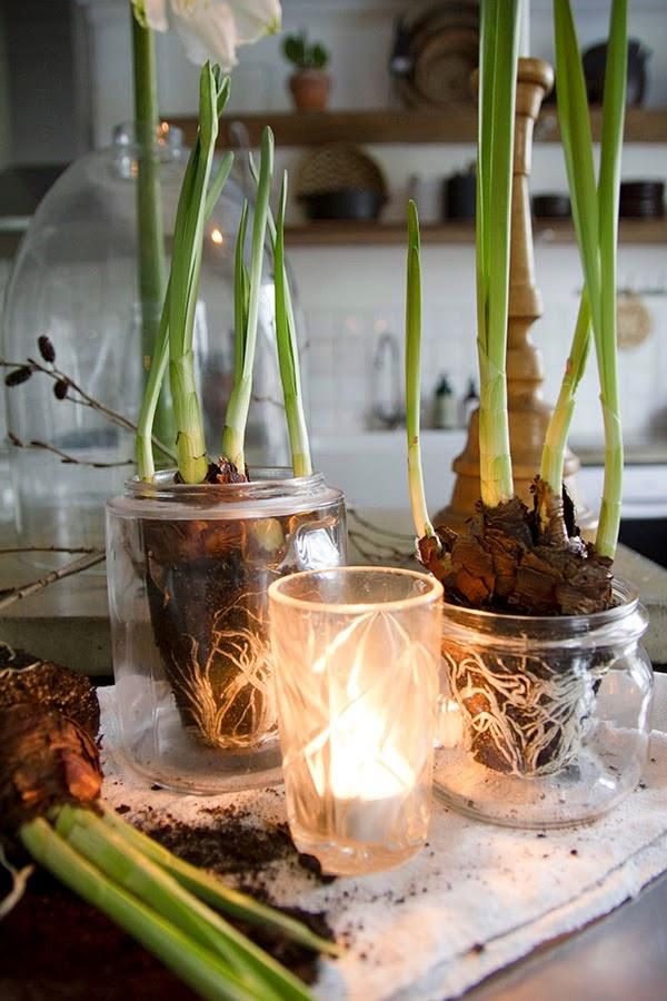 Amaryllis y narcisos