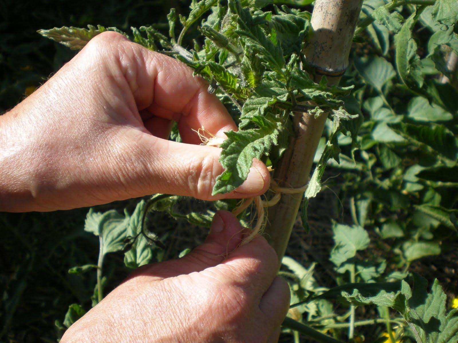 Entretien des tomates madorre - Entretien pieds de tomates ...