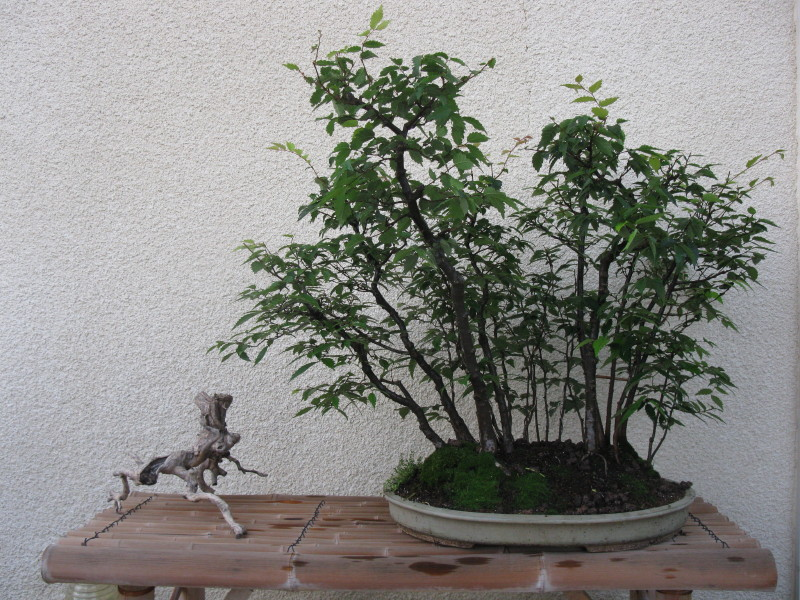 matsu bonsai quelques arbres en formation apr s l 39 arrosage. Black Bedroom Furniture Sets. Home Design Ideas