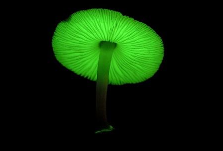 jamur menyala dalam gelap