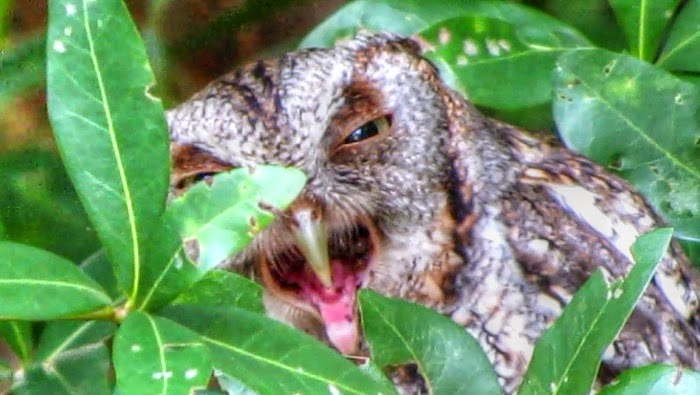 Eastern Screech Owl Regurgitating a Pellet