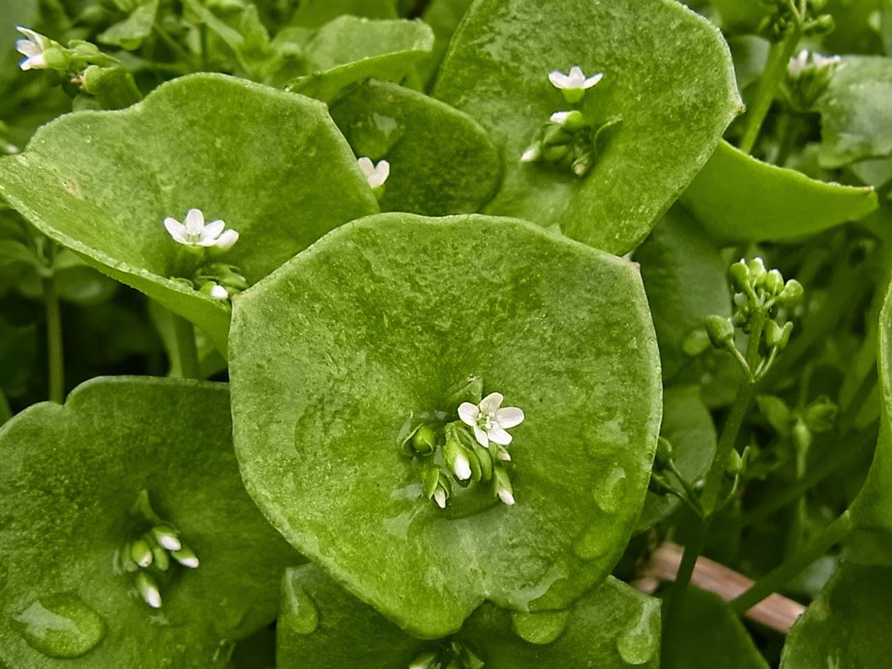 Monotarcie claytonia perfoliata for Recherche plante
