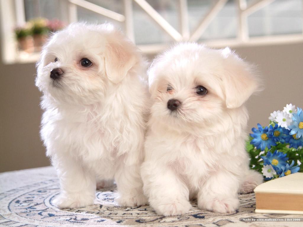 Bichon Frise Puppies/Dogs