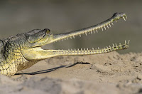 gavial, the crocodile of India
