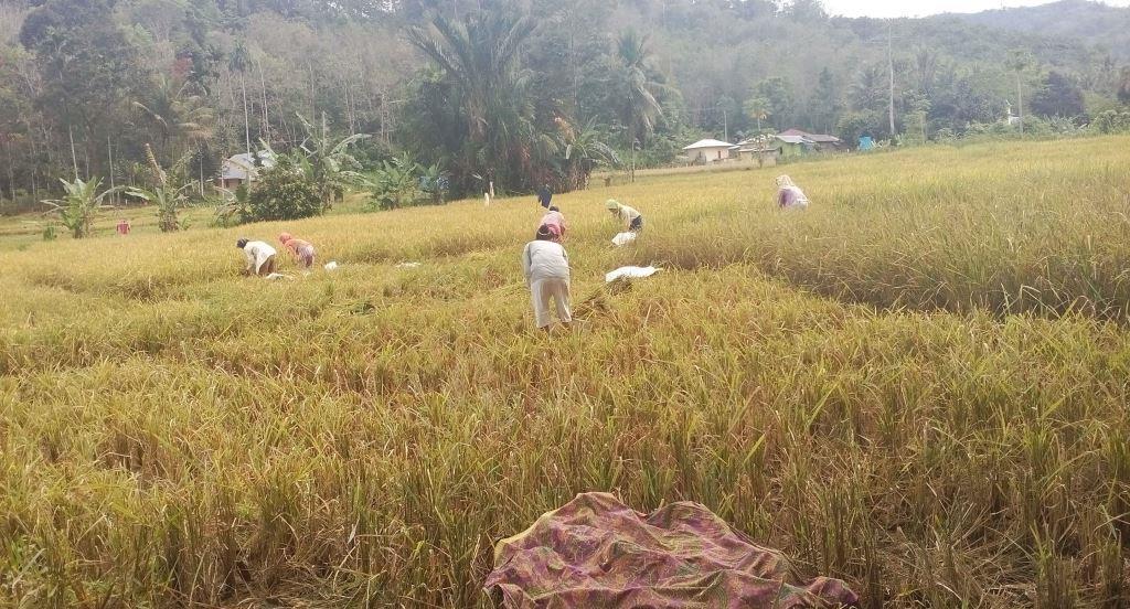 PERTANIAN- Kondisi Lahan Pertanian di Batang Angkola Kabupaten Tapanuli Selatan