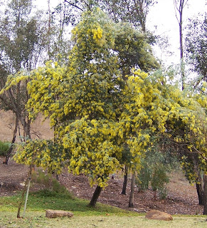 The 2 Minute Gardener Photo Baileys Acacia Acacia Baileyana