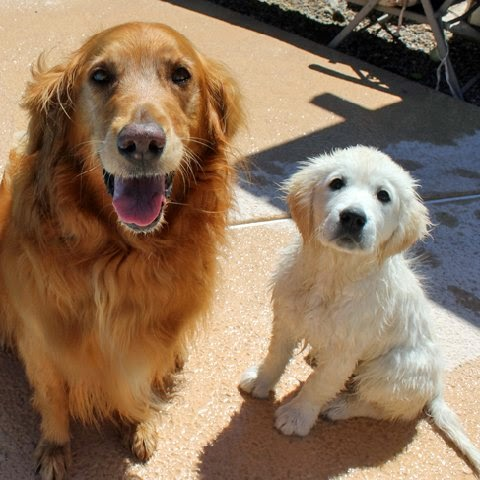 Golden Retriever Rescue So. NV