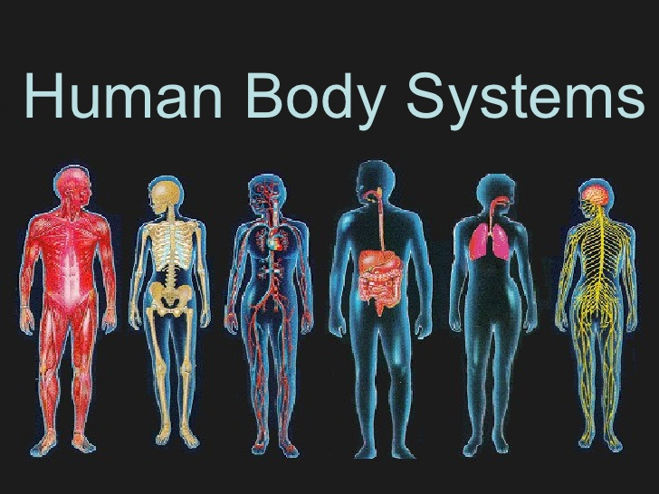 the body system facts – lickclick, Muscles
