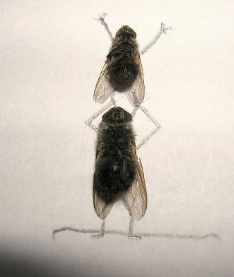 Afinal as moscas sao uteis depois de mortas Image008