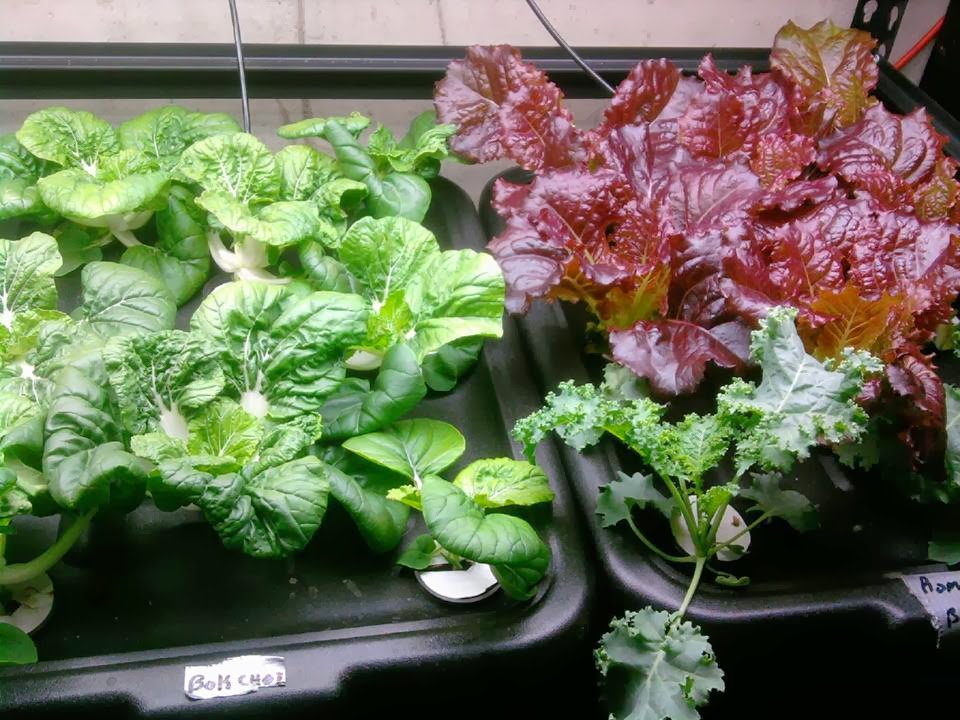 Hydroponic Veggies Grow Faster