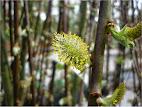 Salix Caprea  kilmarnoch