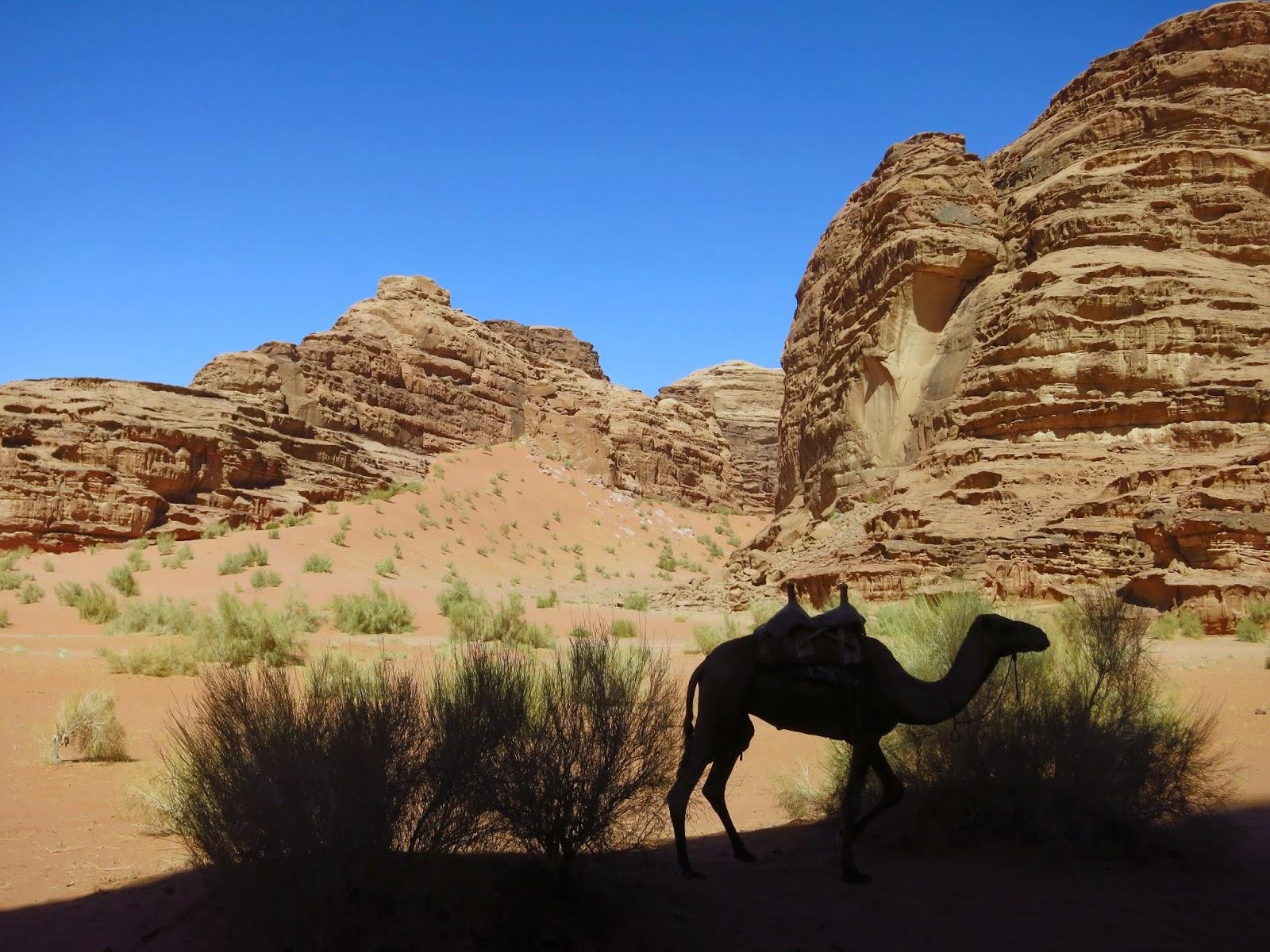 Wadi Rum, camello