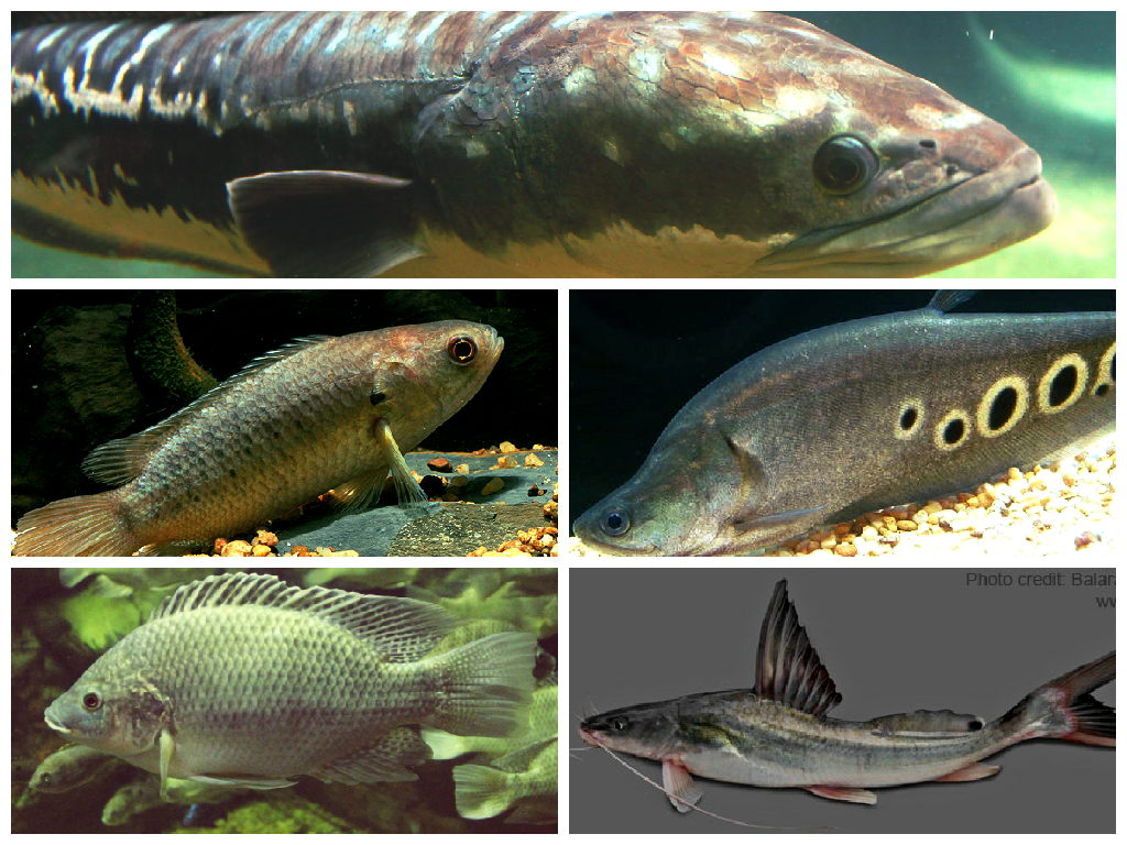 ... net or fishing line. From Long-whiskered catfish to Giant Snakeheads