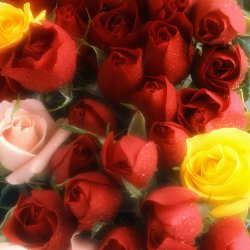Offrir des fleurs combien de roses astuces hebdo for Offrir des roses