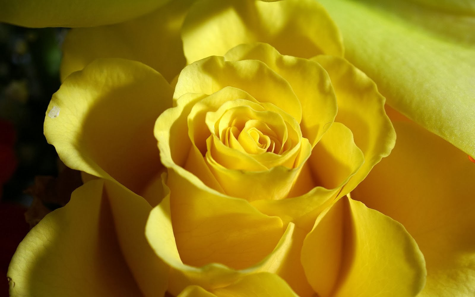 wallpaper of yellow roses -#main