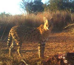Serval at Dawn