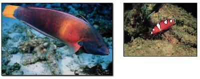 Juvenile Yellowtail Coris, looks like a Clownfish but it's not