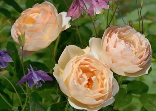 Jude the Obscure rose сорт розы фото купить саженцы Минск