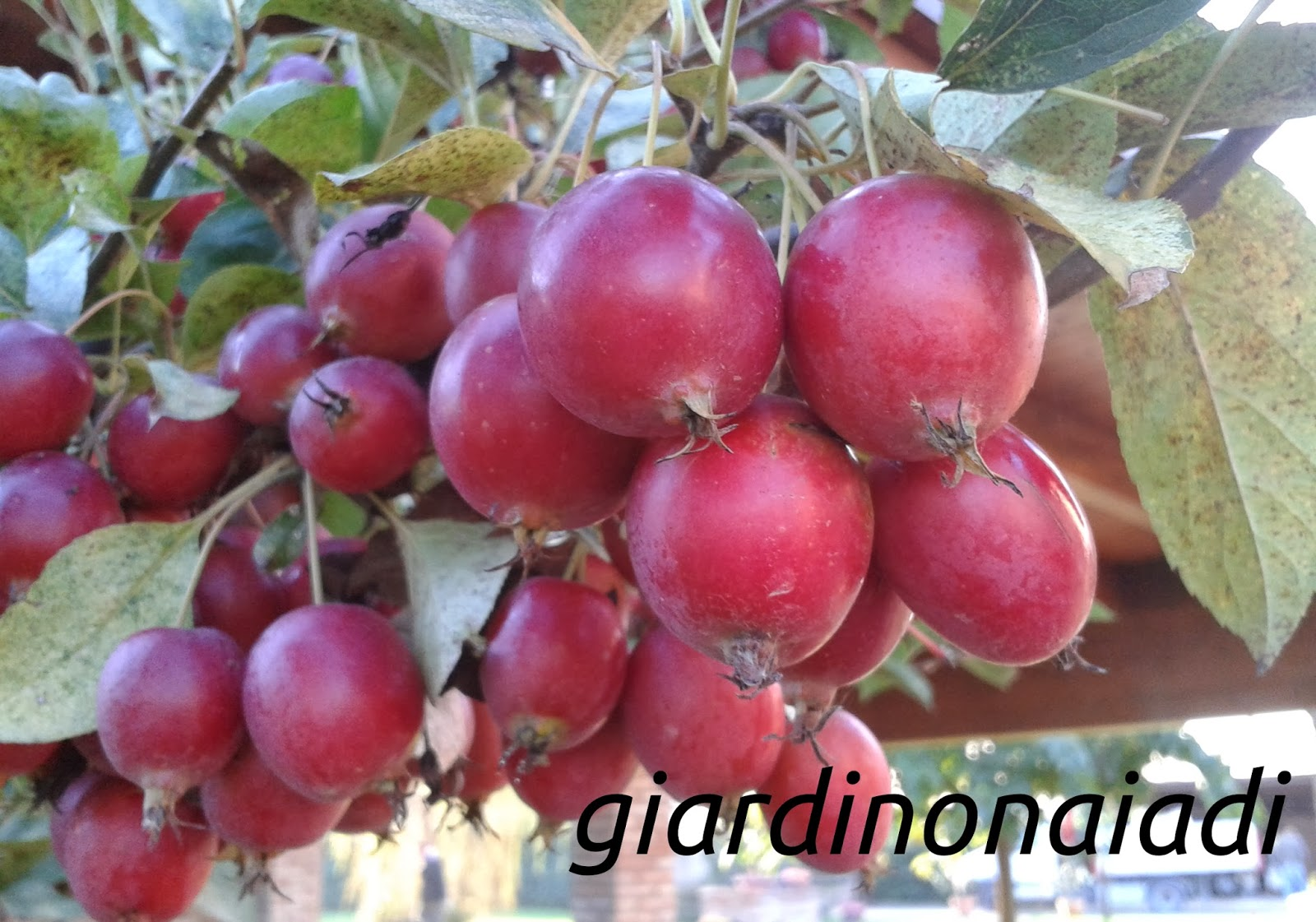 Piante Di Melo : Il giardino delle naiadi melo da fiore un attrattiva per