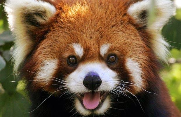 40 Adorable red panda pictures (40 pics), happy red panda