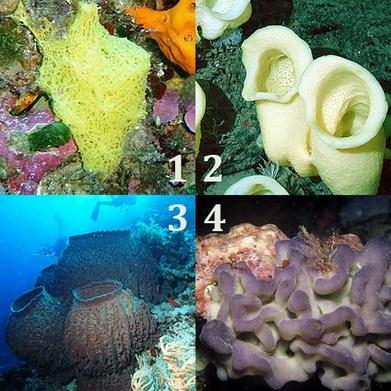 Pengertian, Ciri dan Klasifikasi Filum Porifera