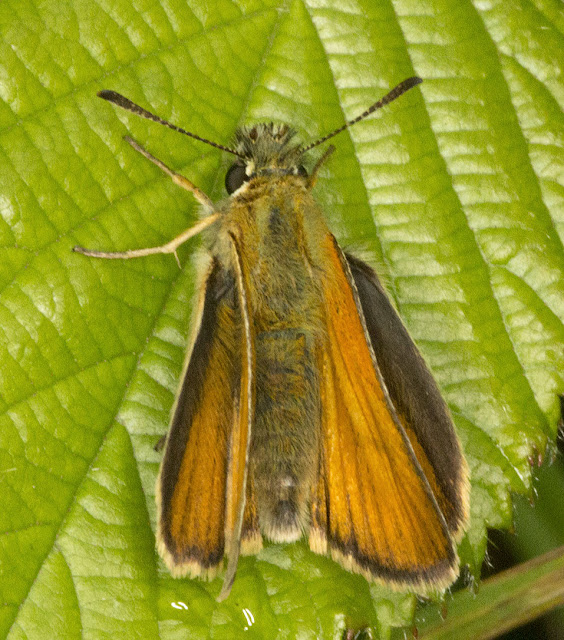 Essex Skipper, Thymelicus lineola.  Jubilee Country Park butterfly walk, 15 July 2012.