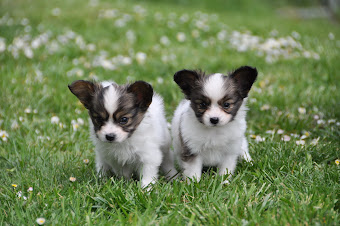Current available Papillon  Puppies