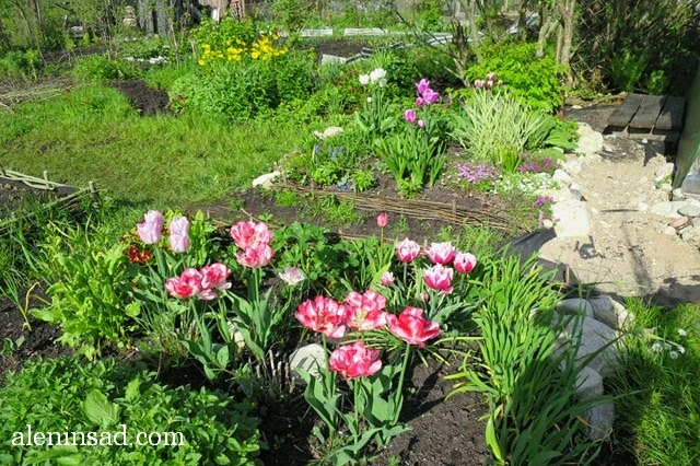 сорта тюльпанов, тюльпан, аленин сад, весенние луковичные, Cartouche, картуш, Top Lips, Candy prince