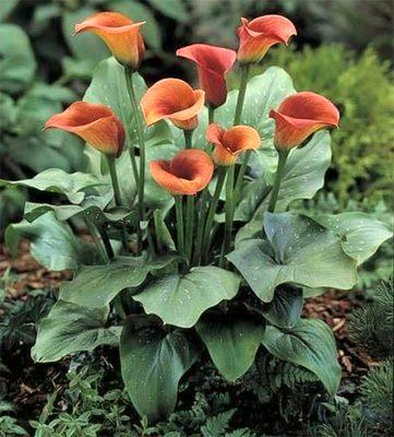 Il mondo in un giardino la calla e i suoi significati for Calla pianta