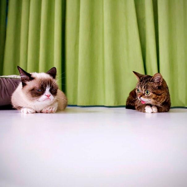 Grumpy cat dwarf kitten